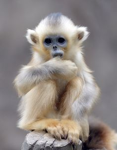 ~~Baby Golden Snub-Nosed Monkey~~ Awww, it looks like this little monkey is sucking it's thumb!!! How cute is he?