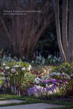 Crocus+tommasianus_Helleborus_Christrosen_Krokus_Fruehlingsblueher_Garten.jpg (599×900)