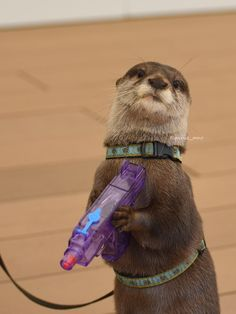 JUST 'CAUSE: party otter carrying a water squirt gun toy. Otters Cute, Cute Ferrets, Baby Otters, Baby Sloth, Cute Little Animals, Cute Funny Animals, Fluffy Cows, Otter Love, My Spirit Animal