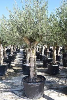 Die 79 Besten Bilder Von Olivenbaum Olive Tree Olives Und Olive Oil