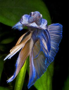 Betta-warrior