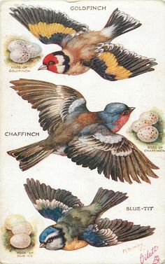 OILETTE, PRINTED IN ENGLAND, COPYRIGHT LONDON, listed in 1930 Postcard Catalogue, same images as pushouts 3375, AFTER THE ORIGINAL PAINTING BY M. BOWLEY., listed in 1926/1927 POSTCARD Catalogues....GOLDFINCH, CHAFFINCH, BLUE-TIT & their eggs