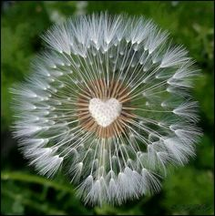Centre a a dandelion seed heed in the shape of a heart. Heart In Nature, Heart Art, I Love Heart, Happy Heart, Beautiful Flowers, Beautiful Pictures, Beautiful Hearts, Fotografia Macro, Dandelion Wish