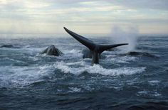 Endangered Species of the Week: North Atlantic right whale Quebec Montreal, Prince Edward Island, Whale Watching, Newfoundland, Nova Scotia, Marine Life, East Coast, Places To Visit, Adventure
