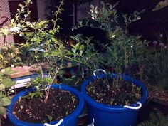 Blueberry plants in container patio/deck fruit garden