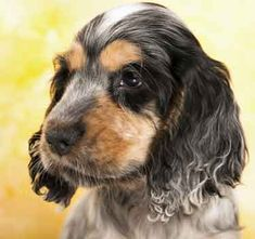 #Cockerspaniel New puppies need a strict puppy care routine. Discover practical puppy and dog care tips, and lots of useful advice about Cocker Spaniel care.