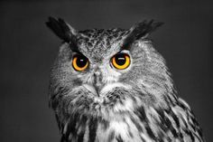 B&W colorized photo of a Eurasian Owl - www.inspirewithnature.com