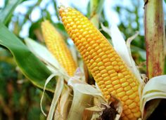 The commercial use of new herbicide-resistant, genetically modified corn and soybean seeds moved one step closer to reality on Friday when the United States Department of Agriculture announced their introduction in limited quantities. Bayer Ag, Golden Rice, Gmo Facts, Healthy Environment, Eating Organic, Organic Recipes, Vegetable Recipes, Genetics, Organic Gardening