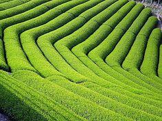 Tea Plantation - japan
