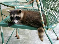 Raccoon Kit Found out today shes a he.