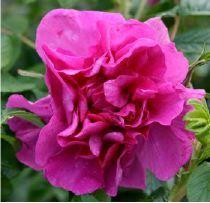 Rosa x rugosa Roseraie de lHaÿ