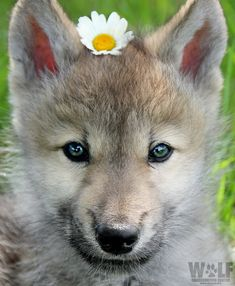 """NY Wolf Center on Twitter: """"You can never be overdressed or overeducated. ~Oscar Wilde… """""""