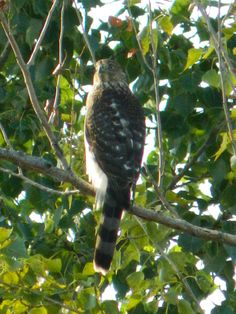 Northern Ghosthawk Female