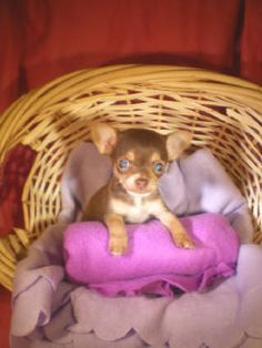 Effective Potty Training Chihuahua Consistency Is Key Ideas. Brilliant Potty Training Chihuahua Consistency Is Key Ideas. Chihuahua Puppies, Cute Puppies, Cute Dogs, Dogs And Puppies, Dogs 101, Awesome Dogs, Doggies, Baby Animals, Cute Animals