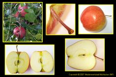 Aufbau eines Apfels, auf Link klicken