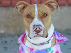 TO BE DESTROYED - 11/24/14 Brooklyn Center - P  My name is LEILA. My Animal ID # is A1020319. I am a female tan and white am pit bull ter mix. The shelter thinks I am about 3 YEARS old.  I came in the shelter as a OWNER SUR on 11/11/2014 from NY 11433, owner surrender reason stated was COST.