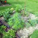 Companion Planting For Cannabis: What You Need To Know