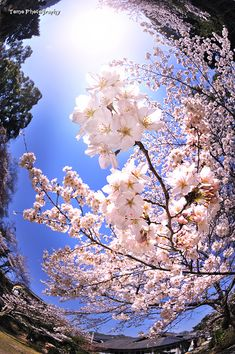 Not just flowers, cherry blossoms. They bloom for only 3 days, all of Japan parties to celebrate that life is short but beautiful. Beautiful Mind, Beautiful World, Beautiful Gardens, Cherry Blossom Japan, Cherry Blossoms, Nature Aesthetic, Flowering Trees, Nature Wallpaper, Hd Wallpaper