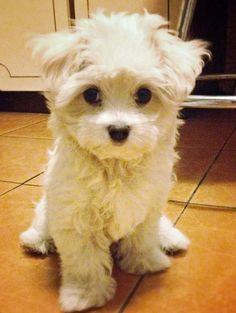 Mattie the Maltese puppy - sweet