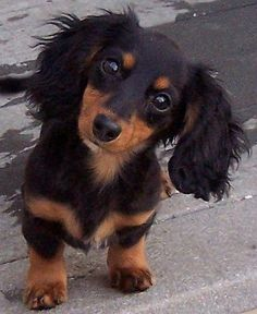 Long haired mini-dachshund!