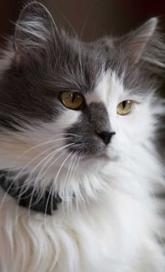 Turkish Angora cat information, pictures.Turkish Angora cats are happy to play, equally happy to relax and not particularly demanding of time. Pretty Cats, Beautiful Cats, Animals Beautiful, Cute Animals, Pretty Kitty, Beautiful Cat Breeds, Turkish Angora Cat, Angora Cats, Animal Gato