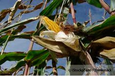 The recent nutritional analysis of non-GMO corn shows that it contains considerably higher amounts of calcium, magnesium, and manganese than GMO corn. http://articles.mercola.com/sites/articles/archive/2013/04/30/monsanto-gmo-corn.aspx