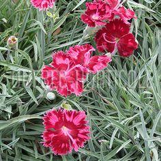 image de Dianthus Very Cherry