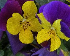 Yellow and Purple Pansies Two