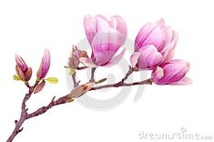 Magnolia flower by Anphotos, via Dreamstime