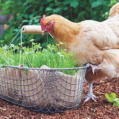 A wire basket, lined with burlap, lets hens nibble at greens in style. An omega-3–rich mix of alfalfa, clover, and flax helps hens make healthier eggs.
