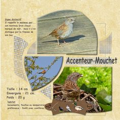 ACCENTEUR MOUCHET