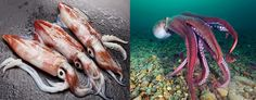 Squid Vs Octopus By – Smile Images