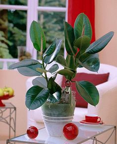 Add House Plants to Home Decor to Improve Air Quality Grey Interior Design, Interior And Exterior, Home Decor Signs, Home Decor Styles, Rubber Tree Houseplant, Rubber Plant, Chic Bathrooms, Plant Needs, French Country House