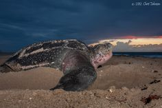Leatherback by Turtleimages LLC