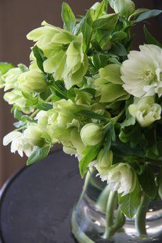 Моро́зник, или Зимо́вник (лат. Helléborus) — род многолетних травянистых растений семейства Лютиковые. Helleborus double ellen green