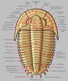 Trilobite morphology