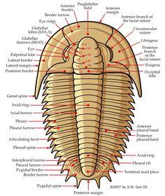 Trilobite morphology