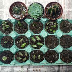 BEBÊ A BORDO!  Reciclagem da caixa de ovos garantindo um berçário para as bebês suculentas que estão por vim.  Maiores informações: (11) 96373-3997 plantenario@gmail.com http://ift.tt/26kszdI  #plantenário #terrário #terrarium #minijardim #suculentas #succulents #cacto #cactos #cactus #baby #succulovers #decoração #decoration #designer #echeveria #love #amor #sãopaulo #sp by plantenario