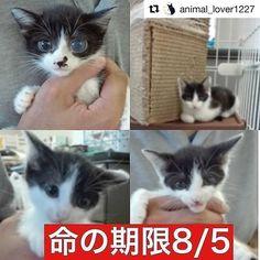 #Repost @animal_lover1227 with @repostapp ・・・ 📢緊急 拡散希望‼️ #ハチワレ 猫 ちゃん 3兄弟 の里親様を募集中です。 殺処分目的で保健所に連れてこられました… 命の期限8/5です。 保健所から出さないとこの子は殺されてしまいます… 時間がありません…!! 拡散していただけると繋がる命があります‼️ 拡散方法はTwitterやFacebookなどでも構いません! どうかよろしくお願いいたします🙏🏻 ・ ・#里親募集_兵庫 ・ ・ この子の家族になりたい! 質問したい! という方は 私のプロフィール欄にリンクを貼っています。  里親になりたい子のページを開いて頂き 「里親を申し出る・質問する」  の赤いボタンがありますのでそちらをクリックしてください。 ・  ペット基本情報 施設名#尼崎市動物愛護センター 施設住所兵庫県 尼崎市西昆陽4丁目1ー1 種類雑種 年齢子猫 (2ヶ月半) 雄雌♂ オス ワクチン未接種去勢去勢していません 単身者応募単身者応募可高齢者応募高齢者応募可 ・ ・ 掲載者情報…