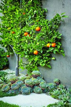 Espalier Tangerine tree surrounded by Hen and Chicks.../