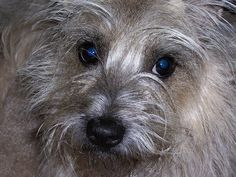 "P.D. (""Puppy Dog"") - Cairn Terrier | Flickr - Photo Sharing!"