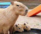 Capybara For Sale