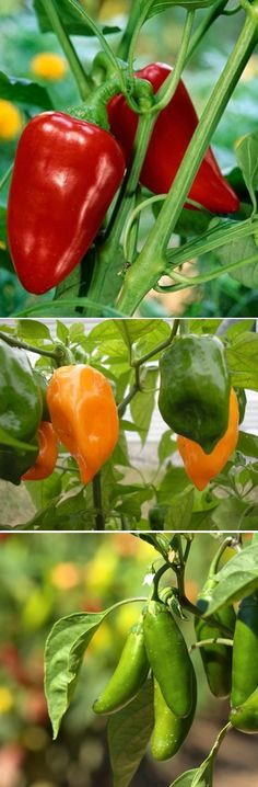 growing peppers from seed | Alternative Gardning