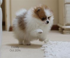 Browdeen Flawless Freddy the pomeranian puppy at eight weeks
