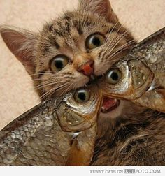 Cat and fishies, double take!