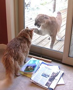 House cat Zeus has a staring match with a mountain lion that wandered on the home's deck in Boulder, Colorado