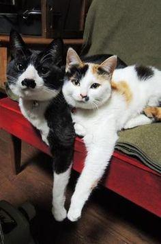 Black & white tuxedo & calico cat