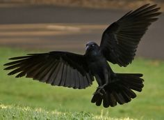 Risultati immagini per bird front Raven Images, Raven Pictures, Dark Pictures, Quoth The Raven, Raven Bird, Raven Wings, Bird Wings, Raven Flying, Female Knight