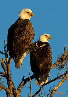 Bald eagles winter over in Chama Valley, NM. Photo by Roger Hogan