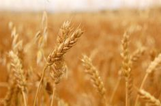"""A protein in wheat can lead to the development of inflammation in tissues beyond the gut, including the lymph nodes, kidneys, spleen and brain, scientists have warned. The amylase-trypsin inhibitors (ATIs) protein can worsen the symptoms of rheumatoid arthritis, multiple sclerosis, asthma, lupus and non-alcoholic fatty liver disease as well as inflammatory bowel disease. ATIs … Continue reading """"Wheat Protein Can Worsen Chronic Health Conditions"""""""